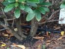 Microbewässerung an einem Strauch